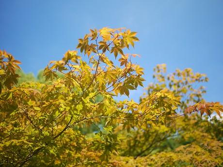 11高桐院12黄葉