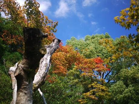 12高桐院13紅葉
