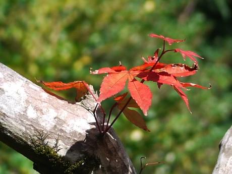 15高桐院14紅葉