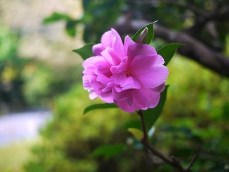 09山茶花