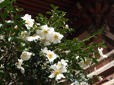 醍醐寺21山茶花