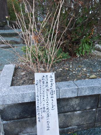 15連城寺-うこぎ