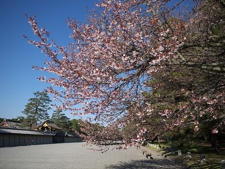 【山桜→花びらアップ】