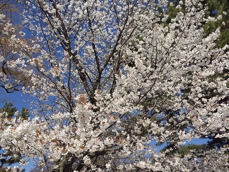 【山桜2→花びらアップへ】