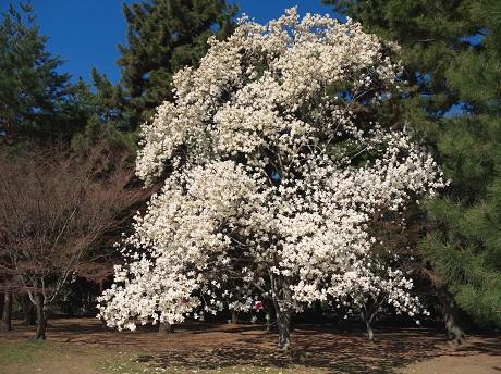 【白木蓮→花アップ】