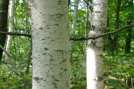 白い樹皮が印象的な白樺