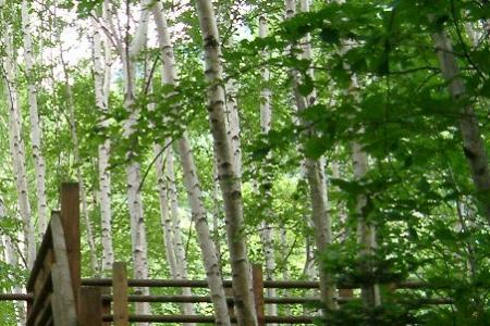 定山渓の白樺林