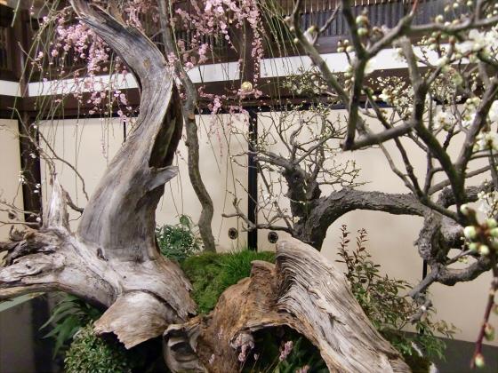 大阪天満宮の盆梅展05