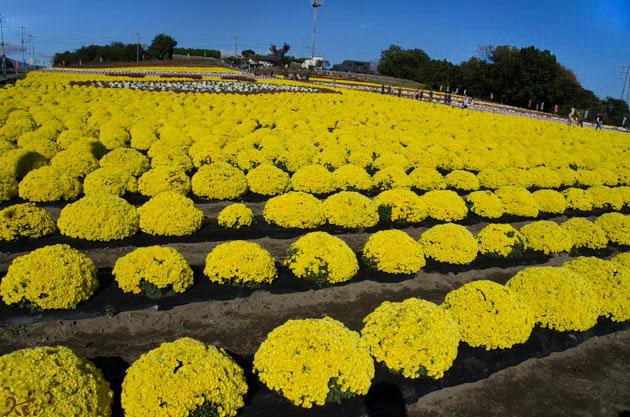 20141103小菊の里10