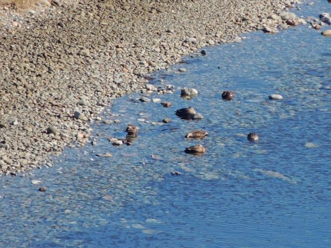 干潮のナマコ池に鴨が
