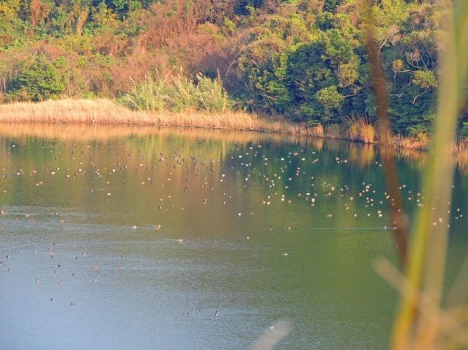 貝池の鴨たち