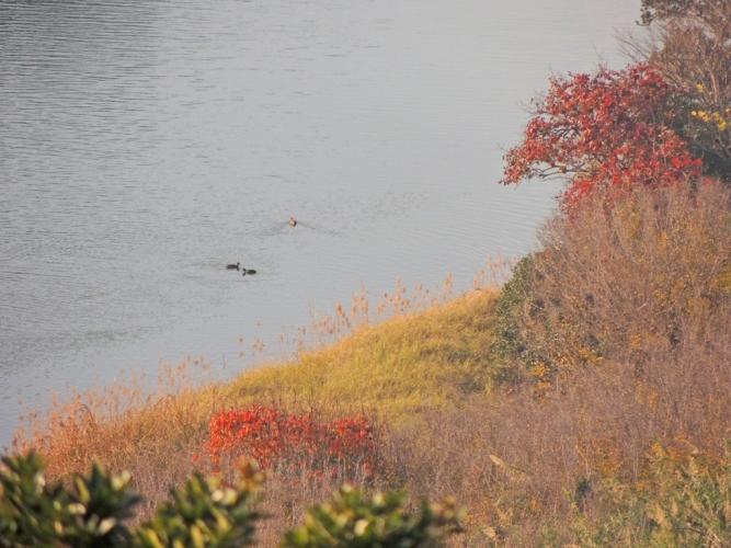 紅葉と池のカモ