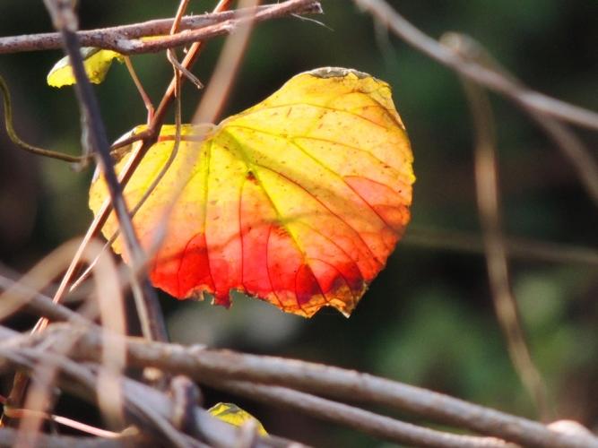 一葉の黄葉