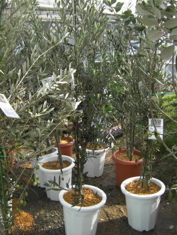 オリーブ2本植え