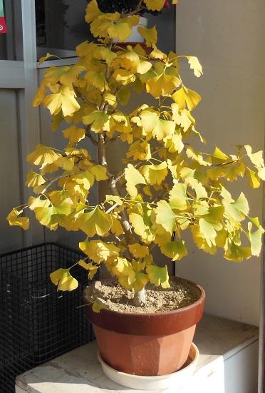 銀杏の盆栽
