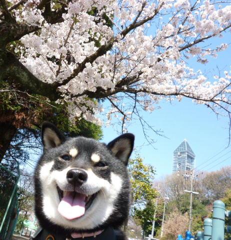11 04 06 動物園 桜