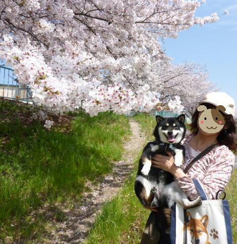 11 04 10 天白川 桜