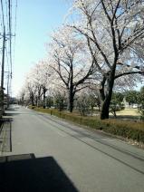 120413_sakura_001.jpg