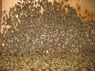 夜のミツバチ3