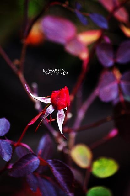 rose_2014011221290873a.jpg
