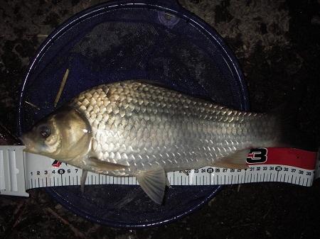 中川 鯉ベラ 41cm
