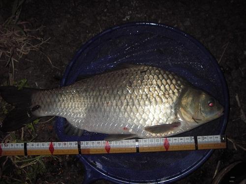中川 鯉ベラ 40cm