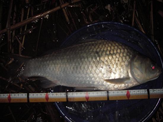 中川 鯉ベラ 44cm