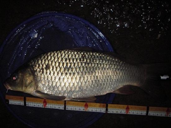 中川 鯉 40cm