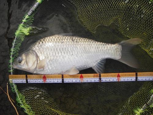 中川 鯉ベラ 37cm