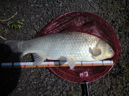 中川 鯉ベラ 52cm Oさんゲット