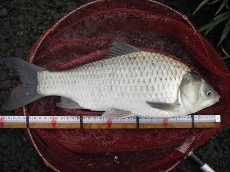 中川深場 鯉ベラ 40cm