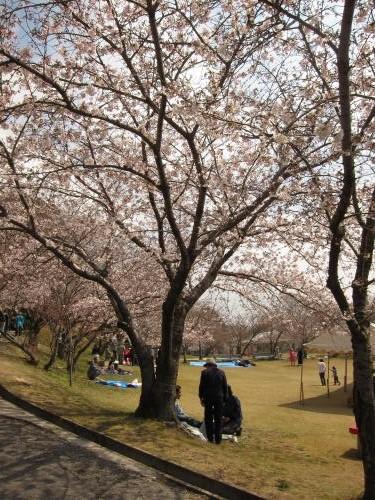 宮地嶽神社 桜