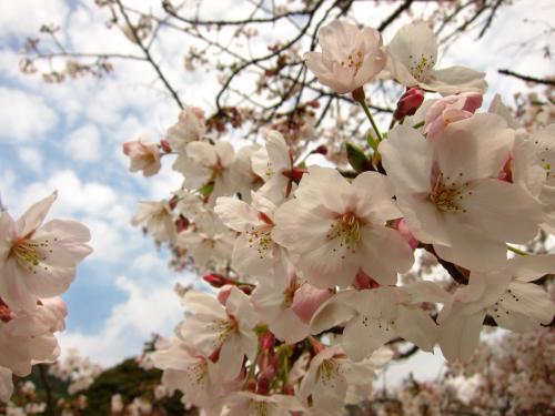 宮地嶽神社 桜 2011
