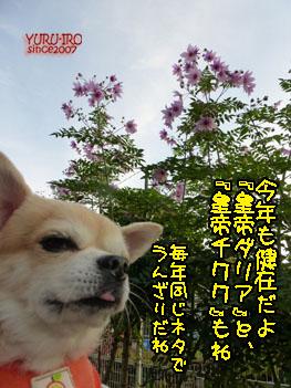 yuruiro20141201_i003