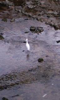 川の中にぽつん、なサギさん