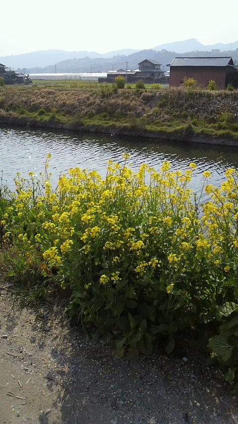 川土手の菜の花2