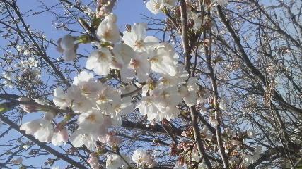 エギンガーZくんの桜画像