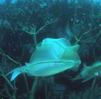 イカの卵2