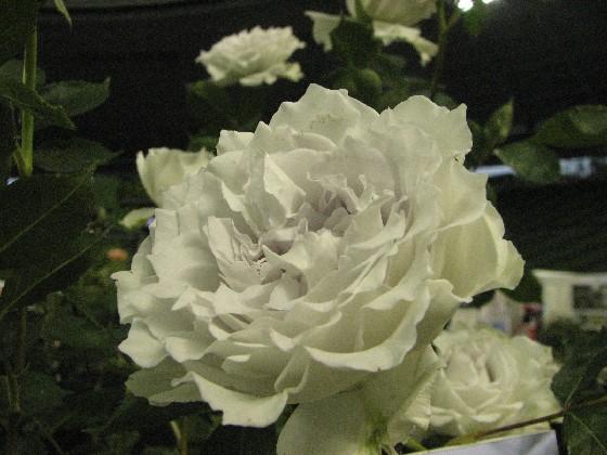 国バラ2011_5#3