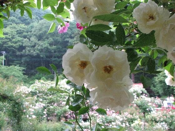 滝ノ入ローズガーデン2011_06#2