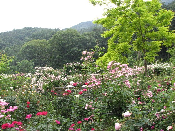滝ノ入ローズガーデン2011_06