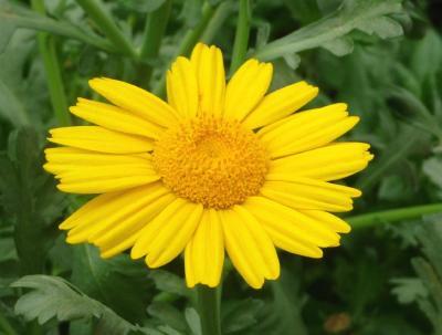春菊の花2011