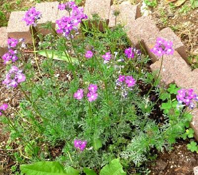名前不明の春の花2011-01