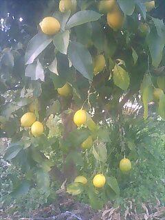 豊作レモン
