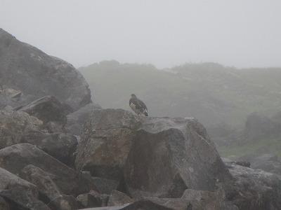 浄土山で雷鳥を見る