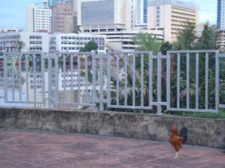 クチンの街をバックに鶏