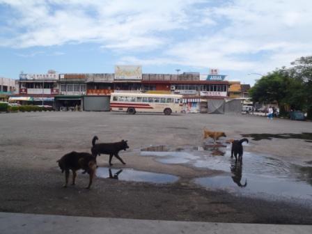バス乗り場を横切る犬たち