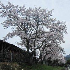 240413sakura.jpg