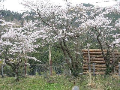 240413sakura1.jpg