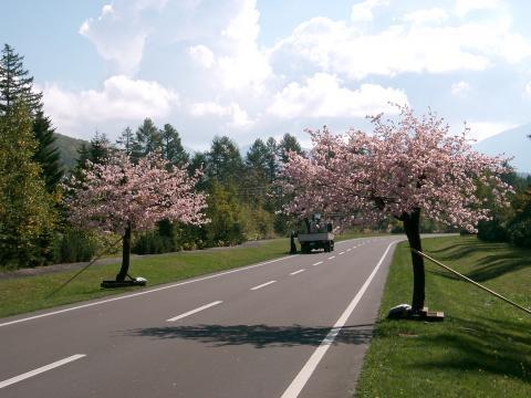 季節はずれの桜 1